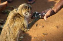 斯里兰卡的猴子