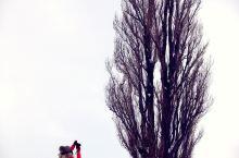 美瑛的那些树,是怎样变成网红的