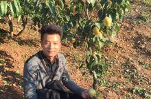 树不高,果实很大。