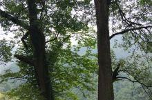 涟源市荷塘镇礼左村湖南省帝富莱原生态农业专业合作社义务管理的百年黄鹂芽茶古树