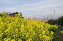 怀化鹤城的油菜田,黄花开,晴天白云,一幅美丽的画面,让人心旷