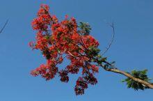阳光花城攀枝花盛开的火红的凤凰花