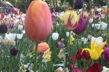 #嗨翻小长假#荷兰库肯霍夫世界上最大的郁金香花园