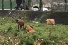 枯水季节的养牛场