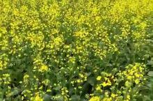 呼伦贝尔的油菜花季,想看花的抓紧了