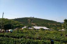 景洪万亩茶园采茶