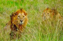 在肯尼亚看真正的动物世界