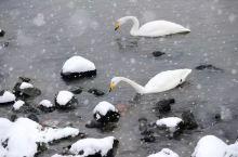 #元旦去哪玩 去荣成烟墩角,大雪与天鹅共舞!