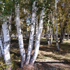 哈巴河白桦林旅游景点攻略图