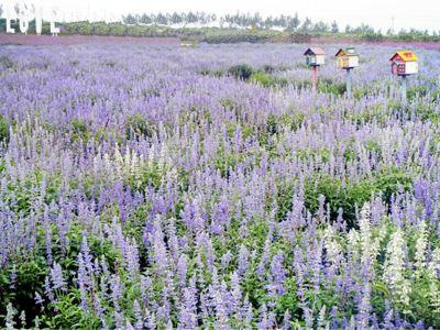 Flower Field Purple Charm Lavender Manor