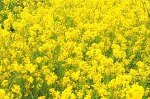 油菜花都开了,春天的脚步越来越近