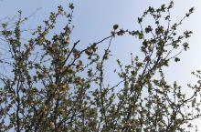 垂丝海棠,粉红的花朵,嫩绿的新芽,萌萌哒~