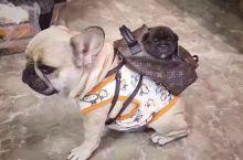 纯种巴哥犬要去旅游咯