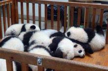 到雅安熊猫基地看熊猫啦