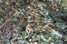 野生猕猴桃,天然绿色,看着就手痒痒的
