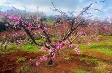连平的桃花
