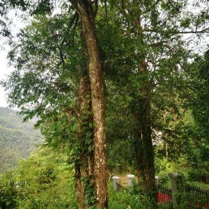 岑溪珍稀植物红豆杉旅游景点攻略图
