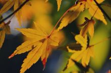 阳光下醉人的秋叶