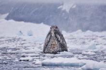 在南极大陆邂逅座头鲸出水