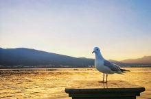 夕阳下,海埂大坝,海鸥们