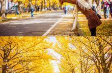 最美的秋天银杏大道,就在日本北海道