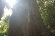 绞杀奇观(后期)。在三亚尖峰岭国家森林公园拍到的绞杀奇观。