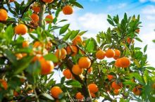 #元旦去哪玩#吃涌泉蜜橘