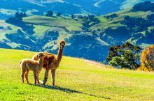 白天喂羊驼,午后挤牛奶,澳洲农场初体验!