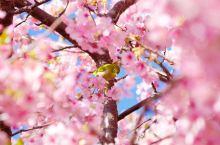 春天去丽江看花
