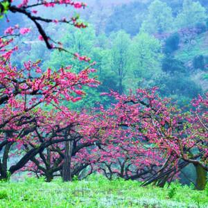 连平游记图文-广东也有桃花源:十里桃花遍地花,满山遍野惹人醉