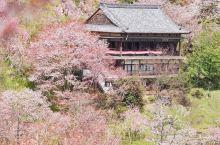 吉野山の樱旅