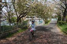 樱花季骑单车游鸭川