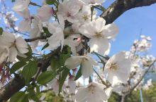 我大青浦的十里樱花之一