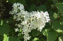 奥森公园的丁香 丁香花是大家都喜欢的花,素雅,安宁,又暗香浮动,符合传统的中国审美观。有关丁香花的一