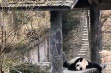 #记录美好#到熊猫基地,看萌萌的国宝们