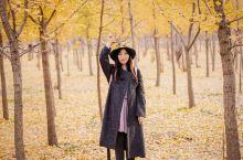 济南黄河边百亩银杏林
