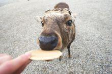 到底在奈良哪里能看到小鹿?