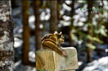 黄龙的小松鼠