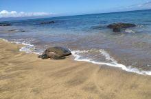 夏威夷茂宜岛见到大海龟