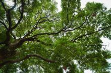 3棵树讲述1个信仰︱百年风雨 又见彩虹