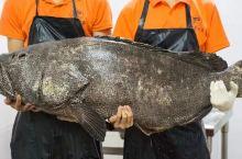能吃鲨鱼的鱼终于来广州了,一条能吃饱50桌人!