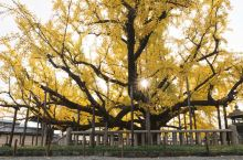 在京都的西本愿寺遇见最美的金秋