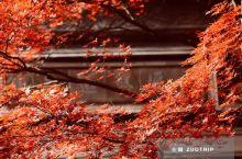 秋来同里赤似火,锦鲤枫叶相映红。