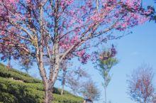 去无量山-赴一场冬日樱花盛宴