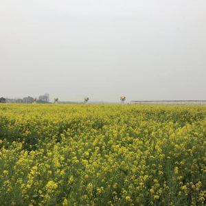 蔡甸消泗油菜花旅游景点攻略图