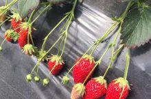 青浦摘草莓!