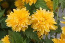 南长河公园的花儿之一 到车道沟附近开会,车停在南长河公园边上,开完会后去里面逛了逛,有许多种花在开放