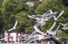 #元旦去哪玩#冬游昆明翠湖公园,红嘴鸥的度假天堂