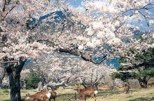 浪漫樱花和萌萌小鹿,不是奈良才有!宫城县竟然还有这样一处赏樱胜地