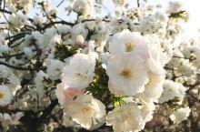 多彩樱花品种 漫天的樱花纷纷扬扬地洒落,飘舞到地上,留下一地的粉色。阳光为樱花镀上温柔的金色。在那零